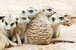Meerkats Royalty Free Stock Image - Image: 20299226
