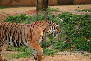 Malayan Tiger Walking Royalty Free Stock Photo