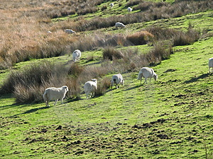 Sheep Grazing On A Welsh Hillside (UK) Stock Photography - Image: 2039682
