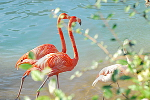 Flamingos Walking Two-by-two Royalty Free Stock Photography - Image: 20302827