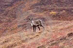 Caribou Poses Royalty Free Stock Photo - Image: 20303275