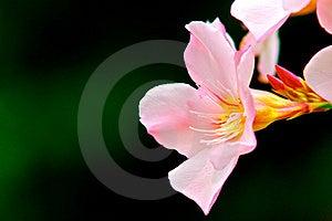 Pink Oleander Stock Image - Image: 20309571