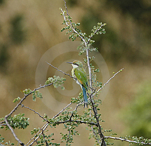 Swallow-Tailed Bee-Eater Stock Images - Image: 20313624