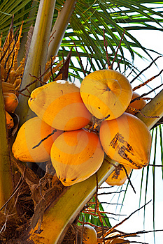Coconut Royalty Free Stock Image - Image: 20314956