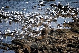 Zgromadzenia Seagull Fotografia Royalty Free - Obraz: 20316657
