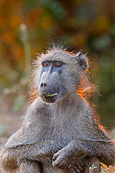 Baboon Stock Photo - Image: 20317170