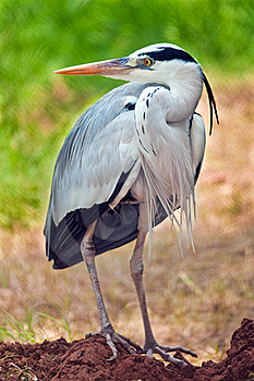 Grey Heron Portrait Stock Image - Image: 20317831