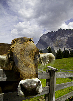 Happy Cow Stock Images - Image: 20319944