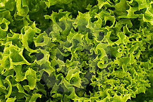 Green Lettuce Background Stock Images - Image: 20320704