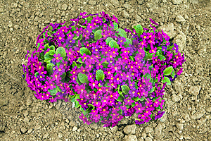 Violets Stock Photos - Image: 20321423