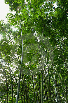 Bamboo Forest Stock Photos - Image: 20328843