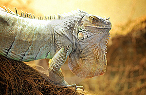 Green Iguana Royalty Free Stock Photos - Image: 20332368