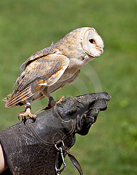 Barn Owl (Tyto Alba) Royalty Free Stock Photo - Image: 20332635