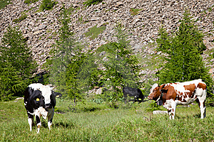 Cows And Italian Alps Royalty Free Stock Photography - Image: 20332687