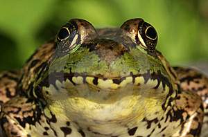 Green Frog (Rana Clamitans) Close-up Royalty Free Stock Images - Image: 20333429
