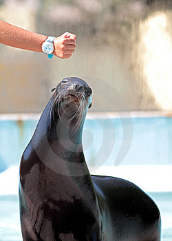Sea Lion Waiting For Snack Royalty Free Stock Image - Image: 20334646