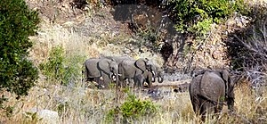 Leopard And Elephants Royalty Free Stock Photography - Image: 20338527