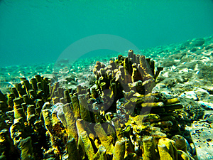 Yellow Coral Royalty Free Stock Images - Image: 20339919