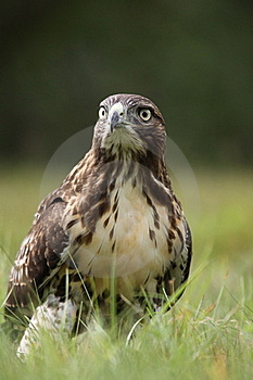 Red-tailed Hawk Stock Image - Image: 20339991