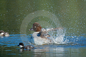 A Bird Family Playing In Water  Stock Photo - Image: 20343920