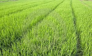 Rice Seedlings Stock Photos - Image: 20348103