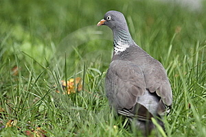 Domestic Pigeon Royalty Free Stock Photos - Image: 20349958