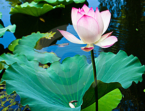 Lotus Flower Stock Image - Image: 20350471