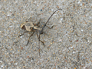 Longhorn Beetle Stock Images - Image: 20350494
