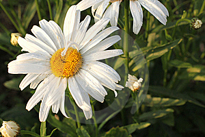 One Daisies On Grass Stock Photos - Image: 20350943