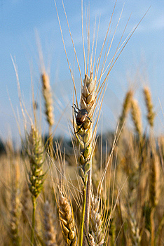 Pest Of Cereal Crops Stock Photo - Image: 20353810