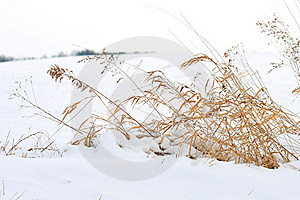 Winter Wheat Royalty Free Stock Photography - Image: 20354007