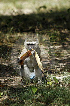 Vervet Monkey Royalty Free Stock Images - Image: 20358089
