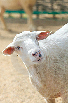 Sheep In Green Meadow Royalty Free Stock Images - Image: 20362929