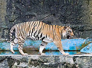 Tiger Royalty Free Stock Images - Image: 20367579