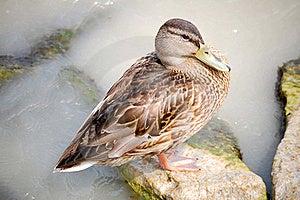 Mallard Duck Royalty Free Stock Photography - Image: 20370347