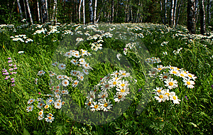 Daisies In A Birch Grove Royalty Free Stock Photos - Image: 20374978