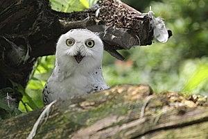 Snowy Owl Stock Image - Image: 20377241