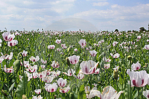 Poppy Field Royalty Free Stock Image - Image: 20383156