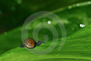 Snail On Green Leaf Royalty Free Stock Photography - Image: 20383537
