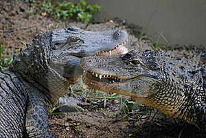 Alligator Royalty Free Stock Image - Image: 20384736