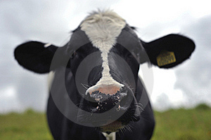 Close Up Of A Cow Royalty Free Stock Photo - Image: 20385935