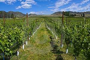 Vineyards And Orchards. Osoyoos, B.C. Stock Photo - Image: 20388540
