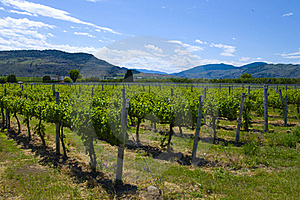 Vineyards And Orchards. Osoyoos, B.C. Royalty Free Stock Images - Image: 20388599