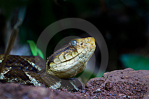 Fer De Lance Stock Photos - Image: 20390013
