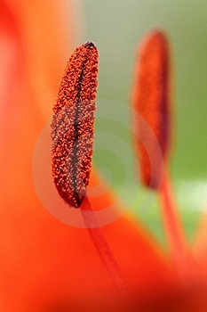 Two Stamens Stock Photography - Image: 20390402