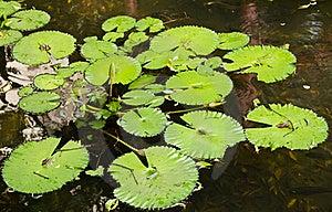 Lotus Leaf Stock Photo - Image: 20390510
