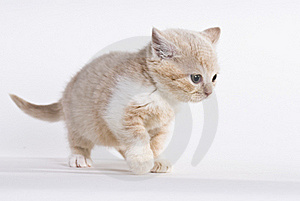 British Shorthair Kitten, 6 Weeks Stock Photo - Image: 20394610