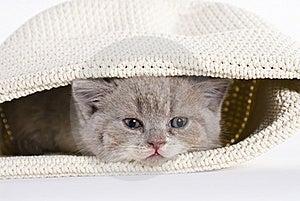 British Shorthair Kitten, 6 Weeks, Tired Royalty Free Stock Photos - Image: 20394638