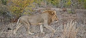 Lion Panorama Royalty Free Stock Image - Image: 20395456