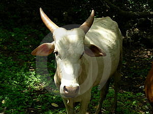 Vache Photo stock - Image: 2042070